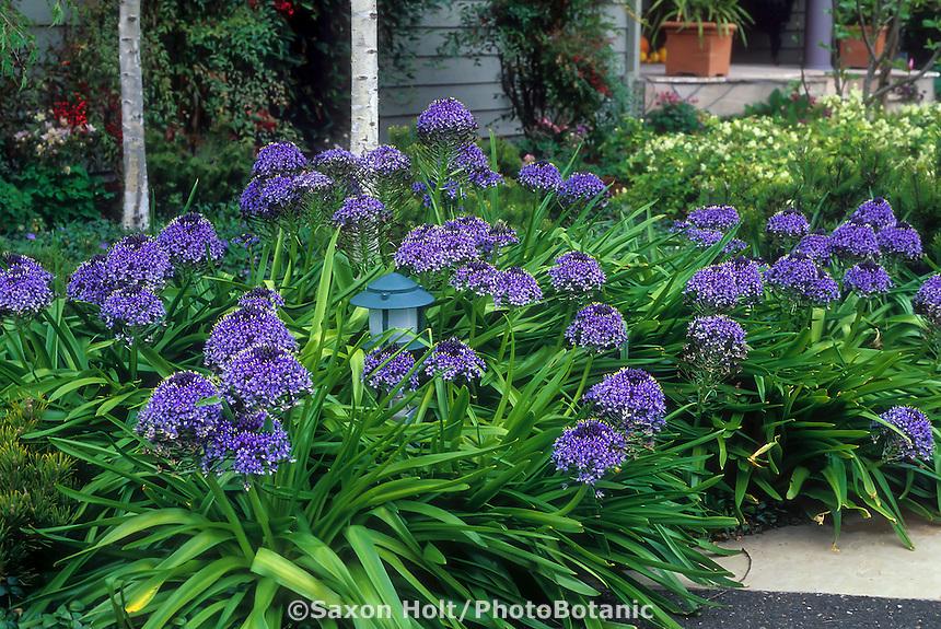 Scilla peruviana (Peruvian Scilla) blue flowering perennial bulb mass planting in garden