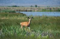 625250019 a wild mule deer odocoileus hemionus in a grassy field in modoc national wildlife refuge california