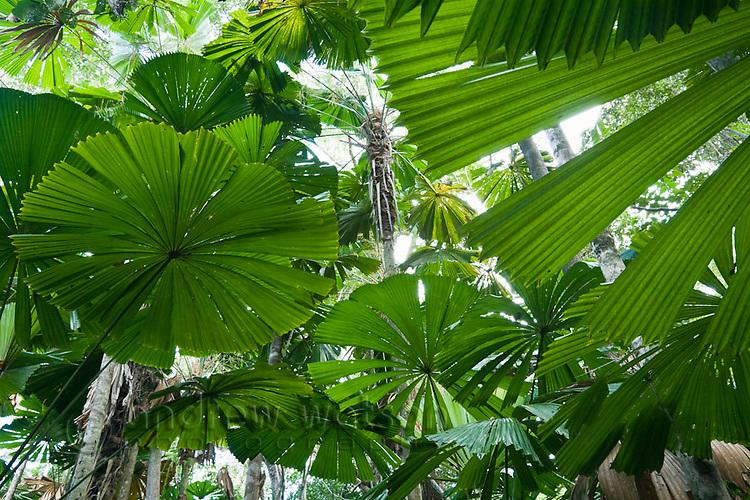 Licuala palm rainforest at Cape Tribulation, Daintree National Park, Queensland, Australia