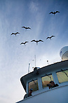 Magnificent Frigatbirds following the ship in the Gulf of California, Baja California, Mexico