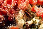 Santa Cruz Island, Channel Islands National Park & National Marine Sanctuary, Channel Islands, California; Club-tipped Anemone (Corynactis californica) and barnacle, feeding , Copyright © Matthew Meier, matthewmeierphoto.com All Rights Reserved