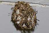 Paper Wasp nest (Polistes exclamans), Lake Texoma, Marshall County, Oklahoma, USA