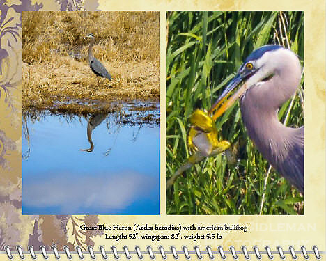 "December of the 2014 Birds of a Feather Calendar. Photo is called ""Heron and Bullfrog Hoedown"" and ""Heron reflection with cloud"".  A great blue heron (Ardea herodias) has an America Bullfrog (Rana catesbeiana) in his beak as the frog appears to be dancing in the air before he became the Heron's meal in a pond at the Ridgefield National Wildlife Refuge."