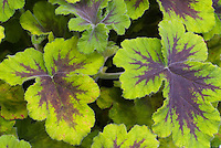 Pelargonium scented geranium, Chocolate Mint, annual foliage plant with fragrance, variegated brown and green
