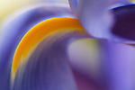 close-up of a blue iris -commercial/editorial licensing for this image is available through: http://www.gettyimages.com/detail/200144609-001/Photographers-Choice