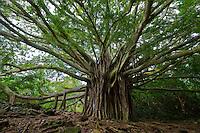 A beautiful large banyan tree on the road to Hana, Maui.