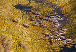 Elephant herd fording the Okavango River, Botswana