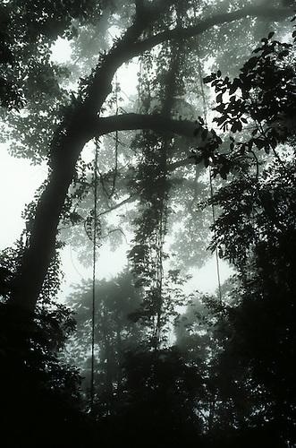 Amazon, Brazil. Misty Amazonian rain forest with lianas.