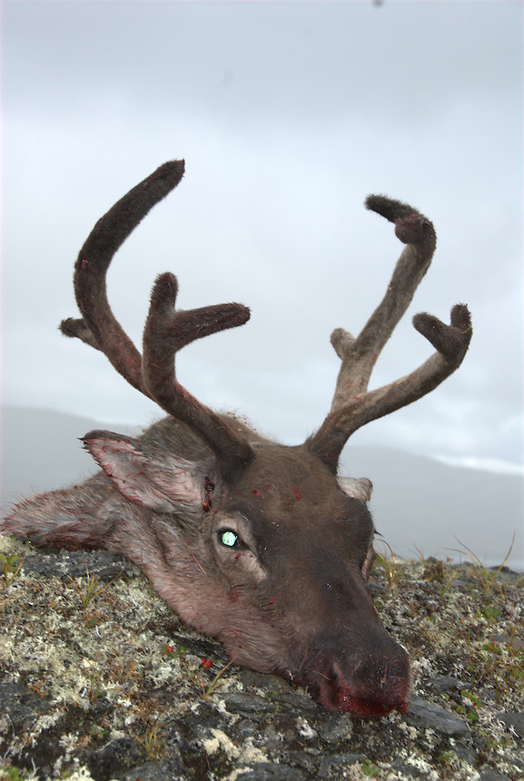 Head of wild reindeer,Forollhogna,Norway,