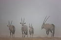 Namibia;  Namib Desert, Huab River, Skeleton Coast oryx antelope (Oryx gazella), group in fog