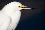 Ding Darling National Wildlife Refuge, Sanibel Island, Florida; a close up headshot of a Snowy Egret (Egretta thula) bird, while standing perched in the shallow water in search of food © Matthew Meier Photography, matthewmeierphoto.com All Rights Reserved
