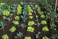 Young new vegetable garden with Lettuces Simpson Seeded, cabbages, tomatoes, pepper plants, good spacing of plants, good rich garden dirt soil, variety of crops interplanted for good garden practice and pest management IPM techniques