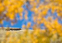 Yellowstone & Grand Tetons Fall 2015