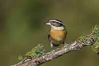 538660023 a wild female black-headed grosbeak pheucticus melanocephalus perches on a pine bough in madera canyon green valley arizona united states