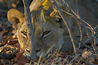 Sleepy lion (panthera leo) in the early morning light.<br /> The Khwai side of Moremi in the Okavango Delta, Botswana. <br /> September 2007.