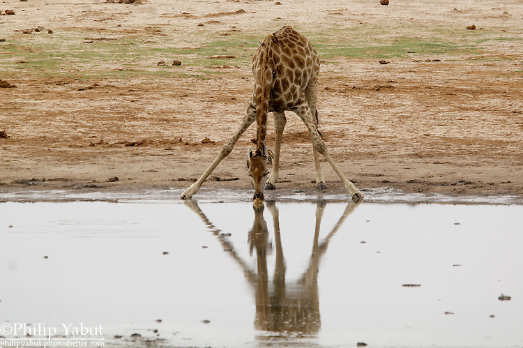 Giraffes are awkward and vulnerable to predators while drinking.<br />