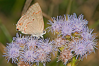 345300001 a wild red-crescent scrub hairstreak butterfly strymon rufofusca at  the naba site in mission hidalgo county lower rio grande valley texas united states