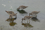 Yellowlegs feeding at Moss Landing, CA
