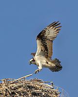 Osprey landing on nest along Columbia River Oregon