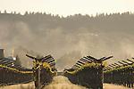 Spring vineyard in St. Helena
