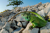 A Western Green Lizard (Lacerta bilineata) warming on the rocks, Croatia.