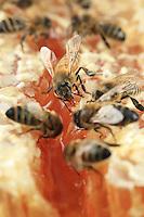 Honeybees on honey