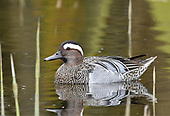 Garganey - Anas querquedula - male