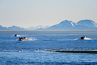 Commercial fishing bowpicker drift net fishermen return to Cordova from the Copper River Delta opening season of salmon fishing, Cordova, Prince William Sound, Alaska