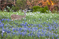 I felt like I was driving in the middle of nowhere, searching for wildflowers - bluebonnets or otherwise - when I came across this single deer. He didn't seem too startled, but I tried to move slowly and was able to capture a few photos of him in the bluebonnets and white prickly poppies before he bounded away.