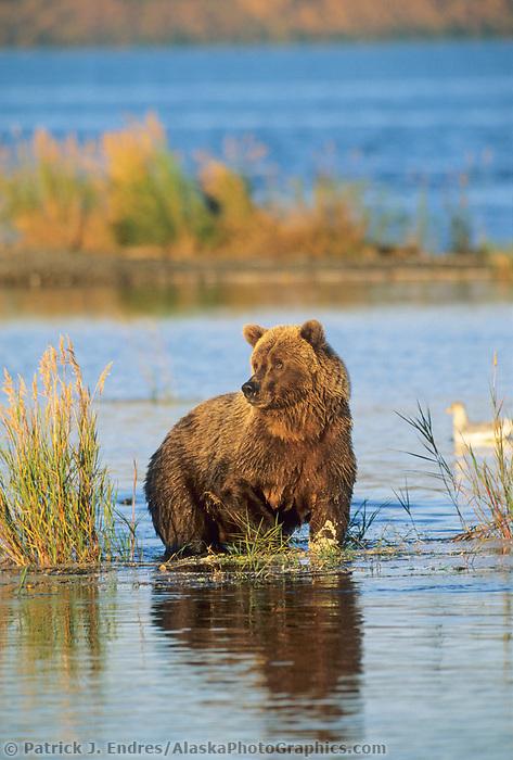 Brown bear wades in Brooks river, Katmai National Park, Alaska
