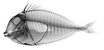 X-ray image of a naso tang fish (black on white) by Jim Wehtje, specialist in x-ray art and design images.