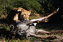Botswana, Kalahari, a captive lioness on a wildebeest kill, lioness was hand raised by humans; when outside her enclosure she started to make her own kills