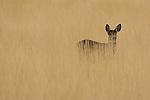 Mule Deer (Odocoileus hemionus) doe in meadow, Tule Lake National Wildlife Refuge, California