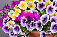 #21 Petunia Ray Sunray, Petunia Ray Purple, Petunia Ray Purple Vein, California Spring Trials, 2011, Oro.