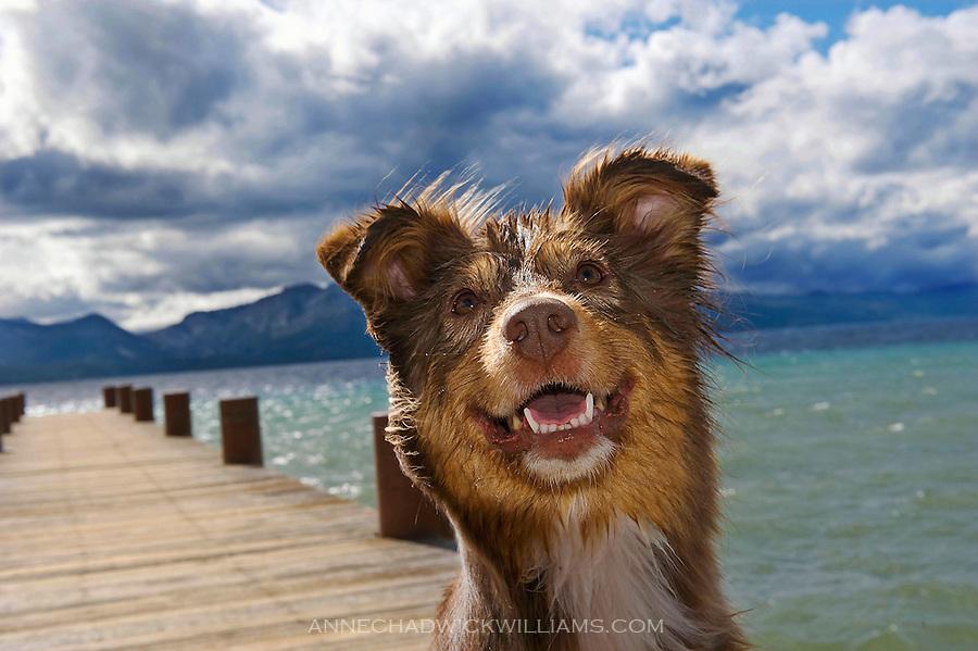 australian shepherd smiles jpg an australian shepherd dog enjoys lake