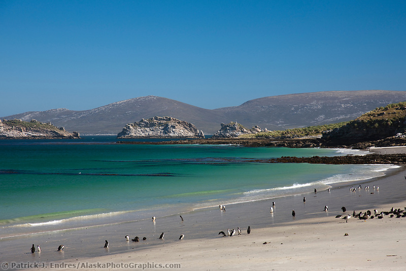 Beautiful beach, on the southern tip of Carcass Island, with gentoo and Magellanic penguins coming and going to sea, Falkland Islands.