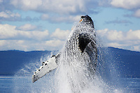pu0038-D. Humpback Whale (Megaptera novaeangliae) breaching. Alaska, USA, Pacific Ocean..Photo Copyright © Brandon Cole. All rights reserved worldwide.  www.brandoncole.com..This photo is NOT free. It is NOT in the public domain. This photo is a Copyrighted Work, registered with the US Copyright Office. .Rights to reproduction of photograph granted only upon payment in full of agreed upon licensing fee. Any use of this photo prior to such payment is an infringement of copyright and punishable by fines up to  $150,000 USD...Brandon Cole.MARINE PHOTOGRAPHY.http://www.brandoncole.com.email: brandoncole@msn.com.4917 N. Boeing Rd..Spokane Valley, WA  99206  USA.tel: 509-535-3489