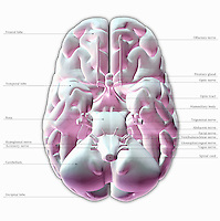 Biomedical illustration of the underside of the human brain. Labels.