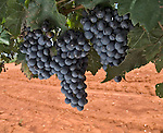 Petit verdot grapes in Arizona vineyard