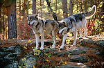 Grey wolf pair on rock outcropping, Minnesota