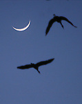CHAD PILSTER &middot; Hays Daily News<br /> <br /> Sandhill cranes fly in past the sliver of a moon to nest on Wednesday, March 14, 2013 during a Hays High School field trip to see the sandhill cranes at the Iain Nicolson Audubon Center at Rowe Sanctuary in Gibbon, Nebraska. In order to reach northern destinations as far away as Alaska, cranes must build up enough energy to complete their long journey and to begin breeding. The Platte River provides the perfect spot to rest, and the nearby farmlands and wet meadows offer an abundance of food.