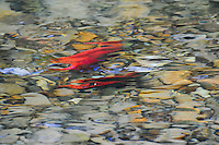 &quot;KOCANEE SALMON-3&quot;<br />