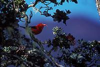 Iiwi,(vestiaria coccinea) in ohia tree