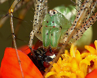 Very large & pregnant Green Lynx Spider with fly prey. Zinnia roost.