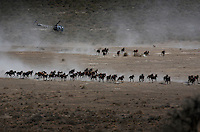 Dust rises from the dry rangeland as BLM contractors use helicopters to gather almost 900 horses that have little food in the Nevada desert.<br />