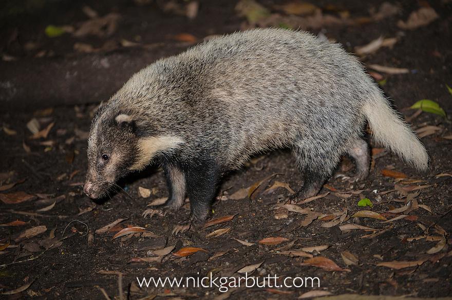 Hog Badger  (Arctonyx collaris) from rainforests in mainland SE Asia (including Bhutan, China, Vietnam, Laos, Thailand, Cambodia, and Sumatra). Photographed in captivity at Singapore Zoo.