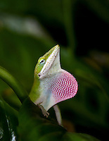 Green Anole displaying his dewlap