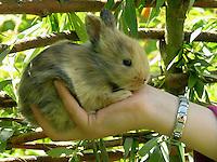 Zwergkaninchen, Zwerg-Kaninchen, einige Wochen altes Jungtier auf Kinderhand, dwarf rabbit