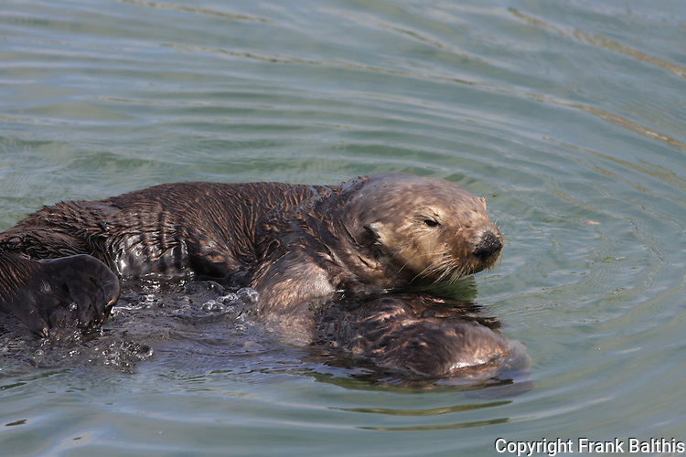 mating sea otters