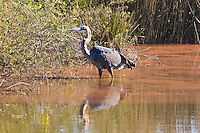 Goliath Heron, Mlilwani Park, Swaziland